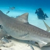 Don't try this at home - manhandling a tiger shark