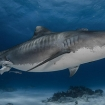 What's in the belly of the beast (I mean...tiger shark)?