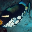 Maldives is a great places for divers to find clown triggerfish