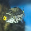 Clown triggerfish live in tropical waters