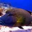 Napoleon wrasse are popular with divers,  Yolanda Reef, Sharm El Sheikh