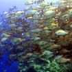 A school of backtail snapper, Sharm el Sheikh, Egypt