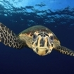 A hawksbill turtle in the Red Sea of Egypt