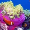 Anemonefish in Ari Atoll