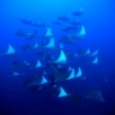 A school of mobula rays
