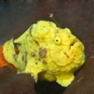 Frogfish are a rare and treasured find here