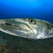 Close up of a great barracuda (Sphyraena barracuda)