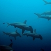Schooling hammerheads at the Galapagos Islands
