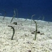 Garden eels at Similan Islands