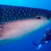 A scuba diver with a whale shark at Maamagili