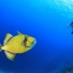 Titan triggerfish with scuba divers