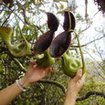 Pitcher plants - see some nature in Sipadan Island, Malaysia