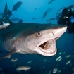 Get close up with bull sharks in Pacific Harbour