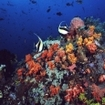 Moorish idols on a colourful coral reef in Bangka Island
