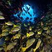 Large school of snapper - Cocos Island, Costa Rica