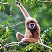 Visit the Gibbon Sanctuary on holiday in Phuket
