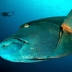 Napoleon wrasse can be found in several tropical seas