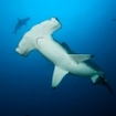 A hammerhead shark at Everest, Cocos Island