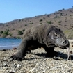 A dragon wanders the beach in Komodo