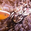 Skunk cown anemonefish and porcelain crab hiding in an anemone