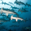 Hammerhead sharks at Darwin Island
