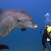 A dolphin greets a scuba diver in the northern Red Sea
