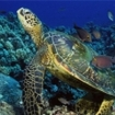 Turtles are seen by scuba divers at Phi Phi Island, Thailand