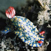 Beautiful nudibranch at Crack Reef