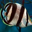 A banded butterflyfish of Belize