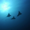 Eagle rays are common sighted when diving in Pulau Ai