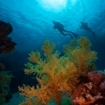 Beautiful scene of a coral reef with divers off Sharm El Sheikh