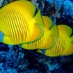 Endemic Red Sea butterflyfish
