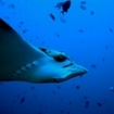 An eagle ray in the Maldives