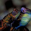 Mandarinfish are found in the Wakatobi Archipelago