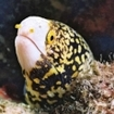 A snowflake moray eel (Echidna nebulosa) in Indonesia