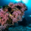 Soft coral blooms in the Philippines