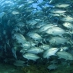 A school of bigeye trevally at Thailand's Richelieu Rock