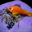 An anemonefish with twinspot damsels, Maldives