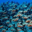 A large school of humpback snapper at the Southern Atolls
