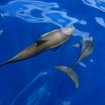 Common dolphins in the Maldive Islands