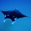 Manta rays are common in the southern Maldives atoll of Meemu
