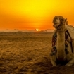 Beautiful sunset view of a very relaxed camel, Hurghada