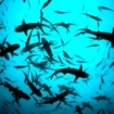 School of whitetip reef sharks - Costa Rica