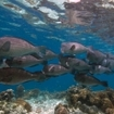 Scuba diving in Indonesia's Triton Bay with Bumphead parrotfish