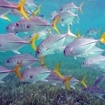 School of horse-eyed jacks at Ambergris Caye, Belize