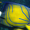 Blue striped emperor angelfish in Krabi