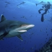 A silvertip shark inspects divers at Shark Reef