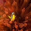 Anemonefish inside a bulb-tentacled anemone, Maldives