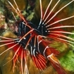 Clearfin lionfish, Pterois radiata, in Thailand