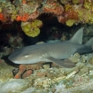 Nurse sharks can be found here